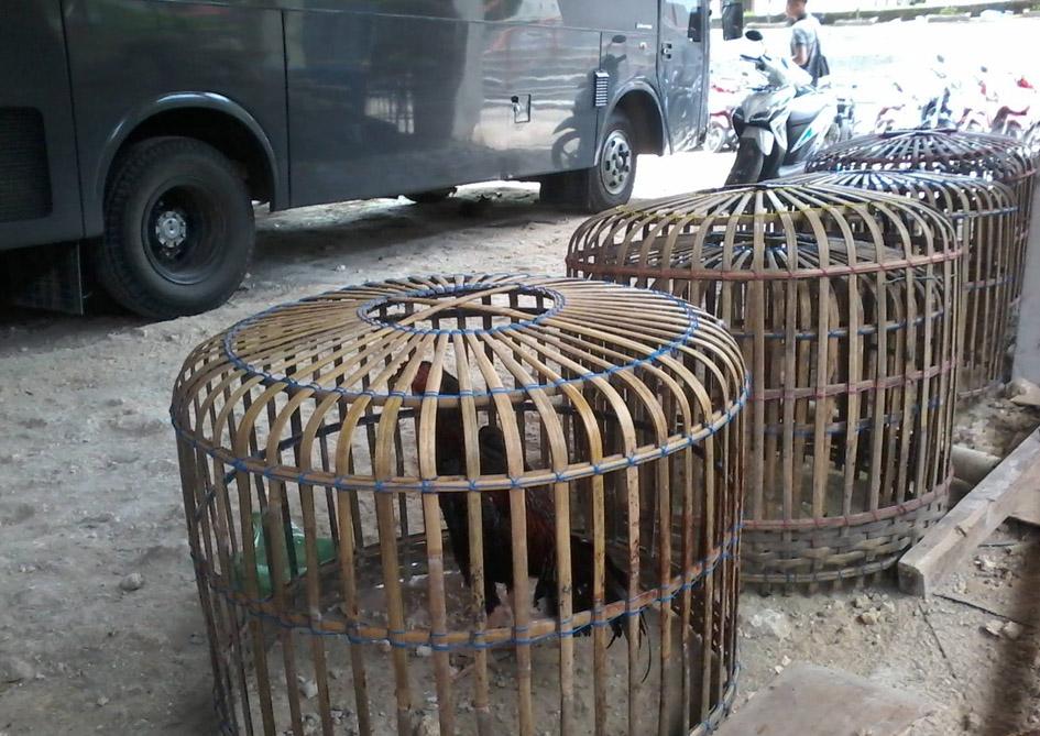 Kandang ayam yang berhasil diamankan petugas di lokasi penggerebekan/Foto: Edi Zebua